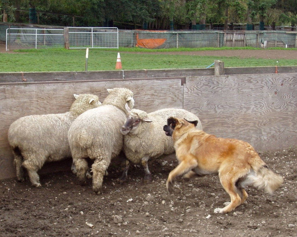 Loki herding sheep at Ewe-topia